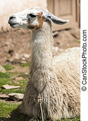 Nice baby lama portrait in Cusco, Peru - Closeup of baby...