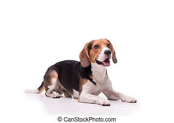 Nice Beagle lying, isolated