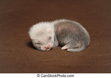 Nice blind ferret baby laying in studio