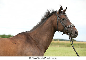 Nice brown purebred horse - Portrait of nice brown purebred...