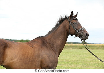 Nice brown purebred horse