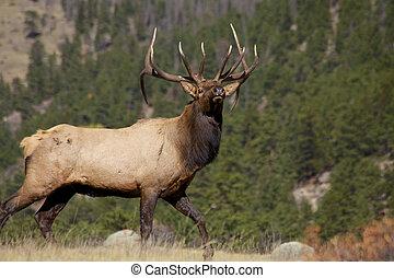 Nice Bull Elk