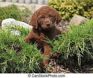 Nice chesapeake bay retriever puppy lying in the garden
