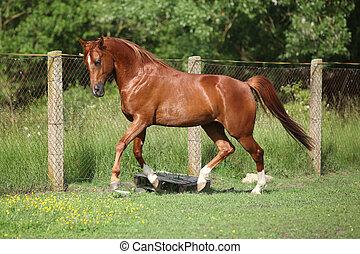 Nice chestnut arabian horse running in paddock in spring