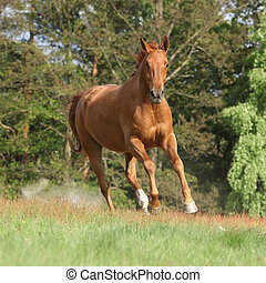 Nice chestnut horse running in freedom and making the dust ...