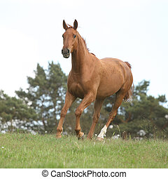 Nice chestnut horse running in freedom on summer