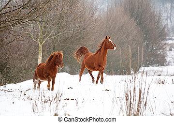 Nice chestnut horses running in winter