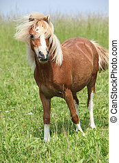 Nice chestnut welsh mountain pony on pasturage