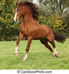 Nice chestnut welsh pony stallion jumping on pasturage in ...