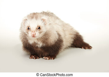 Nice chocolate brown ferret female in studio