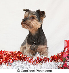 Christmas Yorkshire terrier