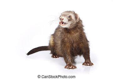 Nice cinnamon ferret on reflective white background