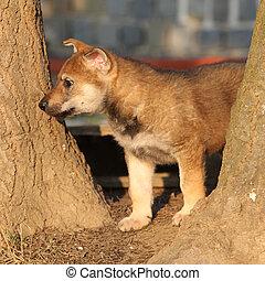 Nice Czechoslovakian wolfdog puppy between two trees