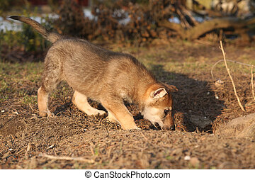 Nice adorable Czechoslovakian wolfdog puppy in natural
