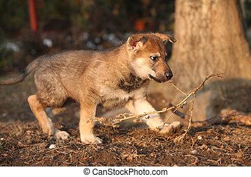 Nice Czechoslovakian wolfdog puppy playing