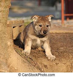 Nice Czechoslovakian wolfdog puppy sitting in the garden