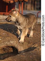 Nice Czechoslovakian wolfdog puppy