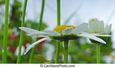 Nice daisy