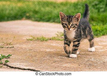 Nice dark tabby kitten with paws walks on concrete