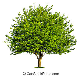 Nice deciduous tree on white - Beautiful fresh green ...