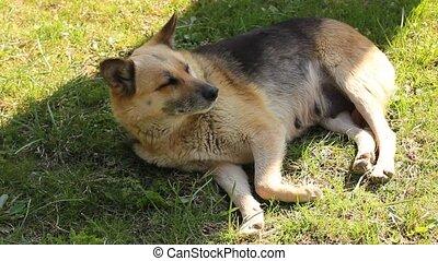 nice dog lying on the lawn