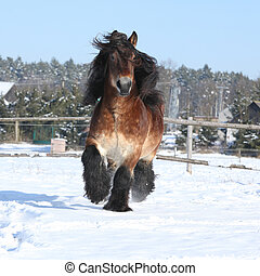 Nice dutch draught horse with long mane running in the snow...