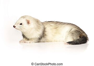 Nice ferret on reflective white background