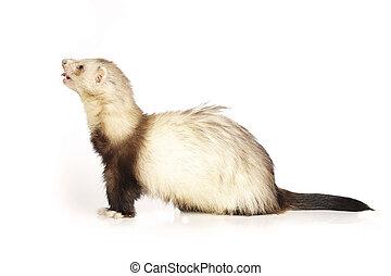 Nice ferret on reflective white background