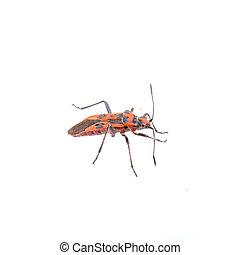 Nice firebug on white background