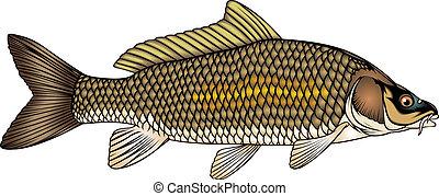 fish carp - nice fish carp isolated on white background