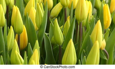 Nice fresh yellow tulips - Beautiful fresh yellow tulips...
