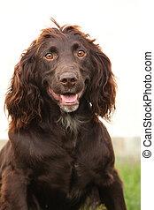German Quail Dog
