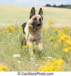 Nice german shepherd dog running