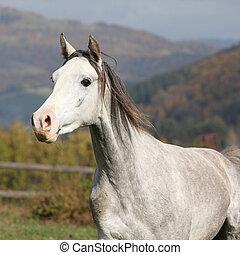 Nice grey arabian stallion with flying mane running on...