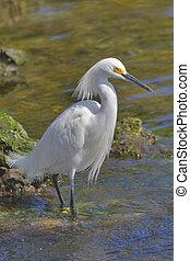 Nice hair cut! - snowy egret in breeding plumage