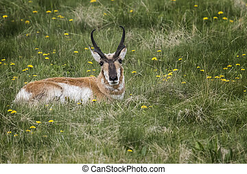 Nice head gear! - Male pronghorn antelope showing off his ...