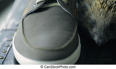 Nice hedgehog between men shoes on table inside on photo shoot