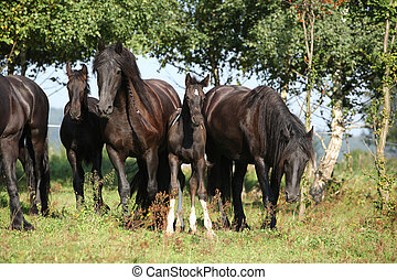 Nice horses on pasturage - Nice black horses on green...