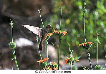 Nice hummingbird feeding on orange flower