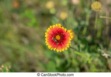 Indian blanket flower and bee gathering nectar in the summer garden