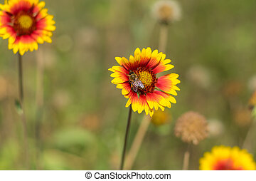 Indian blanket flowers and lonely bee gathering nectar in the summer garden