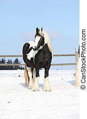 Nice irish cob mare in winter