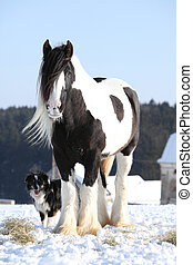 Nice irish cob stallion in winter