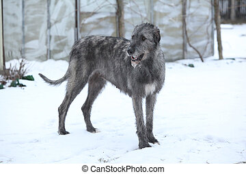 Nice Irish Wolfhound in winter garden