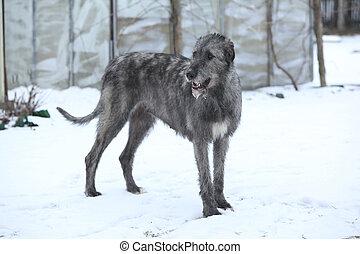 Nice Irish Wolfhound in winter garden