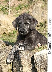 Nice Irish Wolfhound puppy in the garden