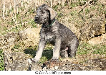 Nice Irish Wolfhound puppy