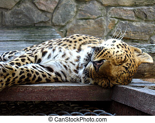 nice leopard sleeping in the cell of zoo