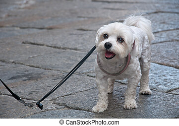 nice little white dog on a leash