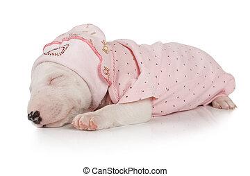 Nice Miniature Bull Terrier puppy sleeping
